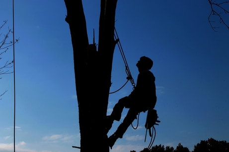 Picture of tree trimmer climbing up a large tree